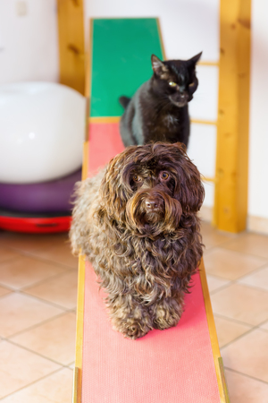 Havanese dog and a cat sitting on a seesaw in an animal physiotherapy office Stock Photo