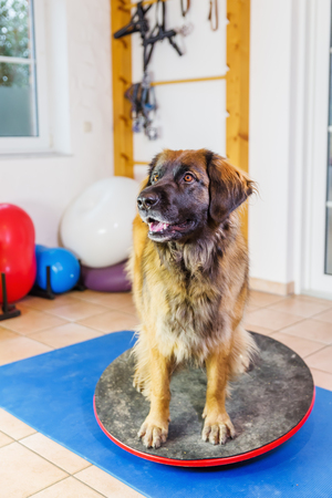 Leonberger sits on a wobble board in an animal physiotherapy office Stock Photo