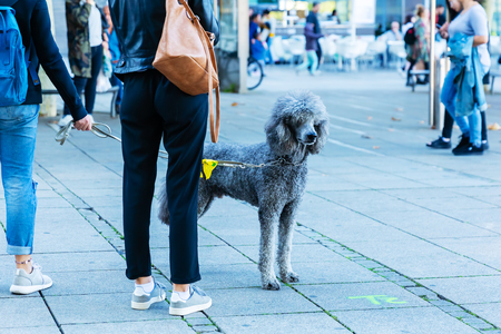People walking with a royal poodle in the city Zdjęcie Seryjne