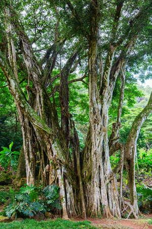 Haleiwa, Oahu, Hawaii, US - November 06, 2019: view of the botanical garden of Waimea Valley. Waimea Valley is a historical nature park including botanical garden