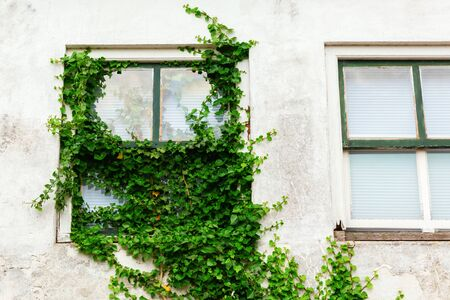 picture of an ivy clad window at an old house