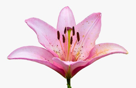 Pink lily. Isolated on white background photo