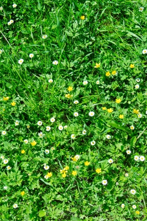 Many white daisies in top view of meadow, several Birds-eye Stock Photo