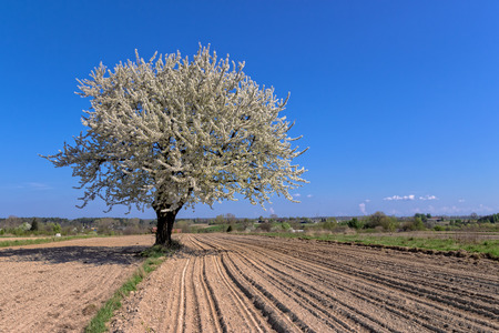 blossoming: Single blossoming tree in spring Stock Photo
