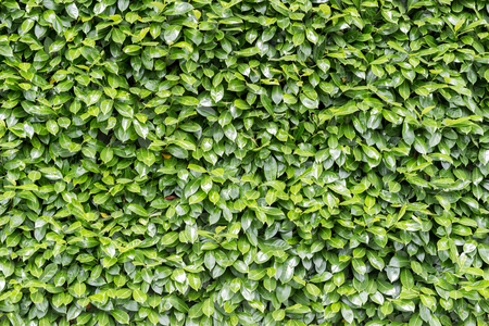 green background: Green leaves wall background