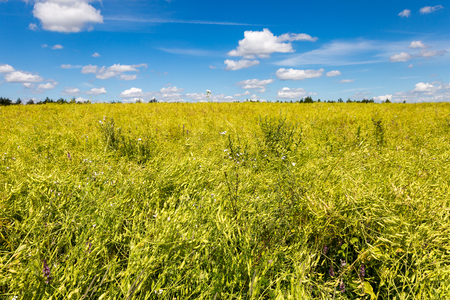 Landscape of a yellow rape field with blue sky Stock Photo