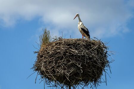 White stork on the nest in the spring.