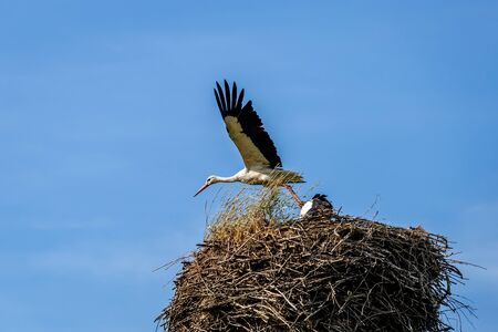 Two white stork on the nest in the spring.