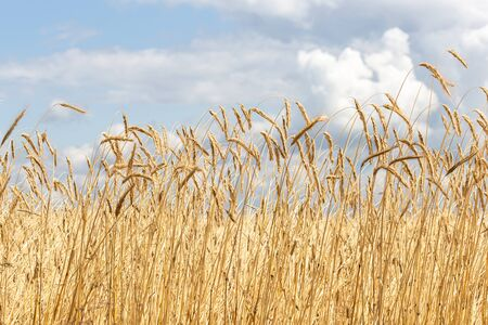 Ears of grain on a background of blue sky with clouds.