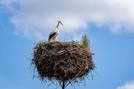 White stork on the nest in the spring