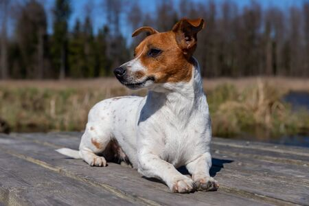 Young Jack Russell Terrier on boards