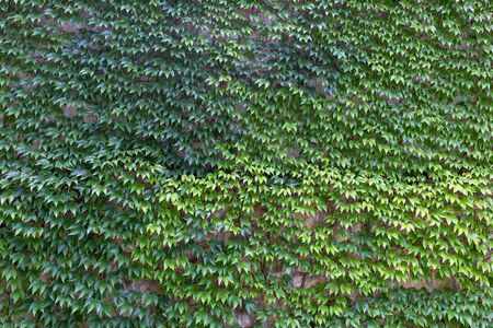 Green creeper on the old wall. Stok Fotoğraf