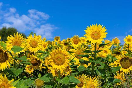 Sunflower flower on a background of blue sky