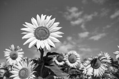 Sunflower flower on a background of sky