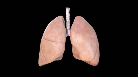 Lungs Anatomy, Human Respiratory System, pneumonia, coronavirus, covid-19, Autopsy medical concept. Cancer and smoking problem. cancer, 3d rendering