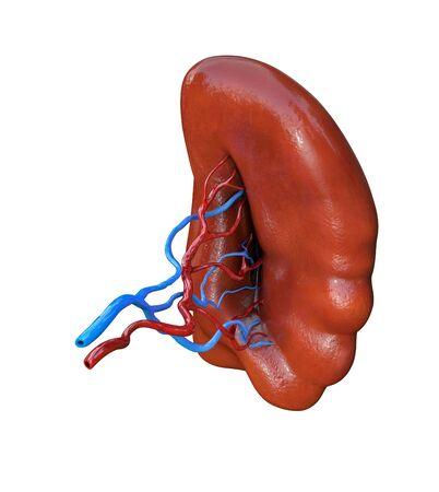 Human spleen isolated on white background, 3D illustration