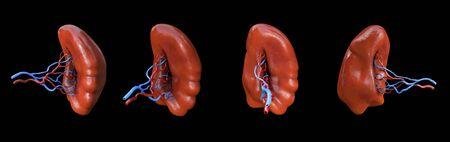Human Spleen anatomy illustration, Spleen milt anatomy set, 3D illustration, Stockfoto