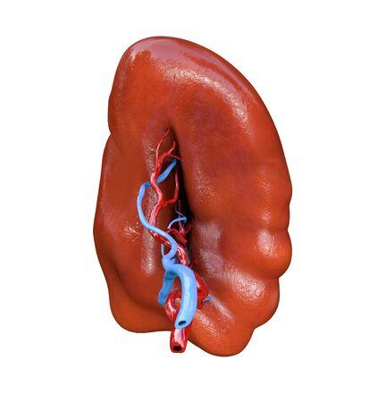 spleen isolated on white background, human organ, anatomy Stockfoto