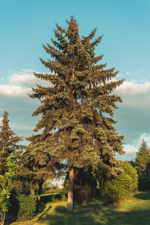 Mighty fir at sunset in late spring somewhere in Romania Stock Photo