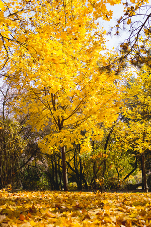 Maple tree in autumn with yellow leaves Stock Photo