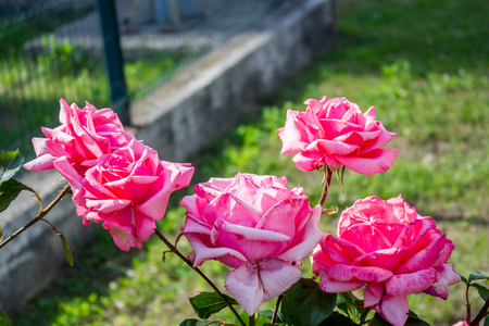 Pink rose. Beautiful flower on green background with leaves