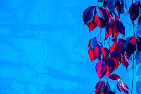 Closeup of neon colored leaves with the blue wall in the background. Colors concept