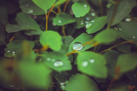 Small raindrops on young fresh leaves in forest close after a spring rain – Morning drew  on little plants in a natural environment – Beautiful wet flora background