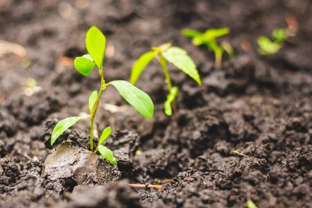 Growing green saplings in a garden or park – Young spring plants rising from the wet and fertile soil – Flourishing crops in agriculture and farming Stockfoto
