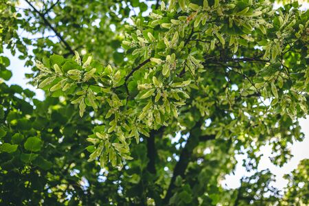 Green nature background of linden tree branches with fresh small seed in summer – Herbal plant with medical use to treat different conditions – Lush park or forest vegetation
