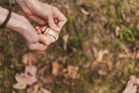 Woman with garlic clove peeling it outside - Close-up to hands cleaning scented spice outdoors in the garden Фото со стока