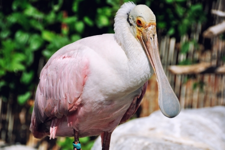 roseate: Close view of Roseate Spoonbill in Valencia park, Spain Stock Photo
