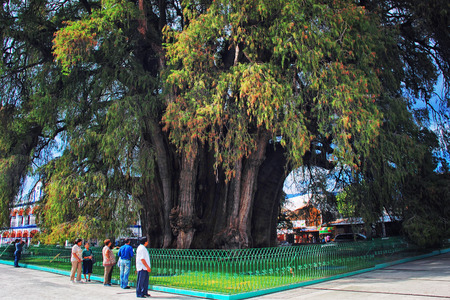 largest tree: SANTA MARIA DEL TULE, MEXICO - MARCH 18, 2011: Famous 2000 year old Montezuma cypress tree, known as the The Tree of Tule, which is one of the oldest, largest and widest trees in the world. Editorial