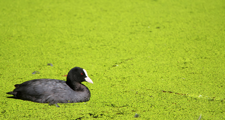Black coot with a white beak in a green lake with duckweed on the surface. Stock Photo
