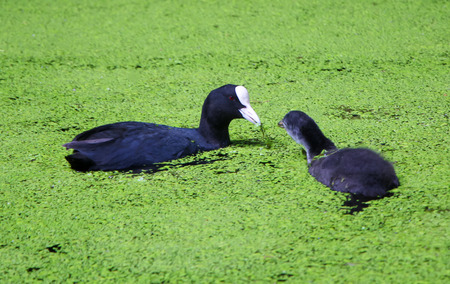 Black coot feeding grey coot chick in green lake.