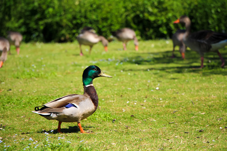 Male duck and geese standing on grass in park surrounded by trees.