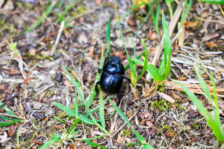 A beautiful black beetle walking on the leaves and dirt in the forest in spring. Stock Photo