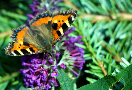 A small tortoiseshell butterfly sitting on purple summer flower.