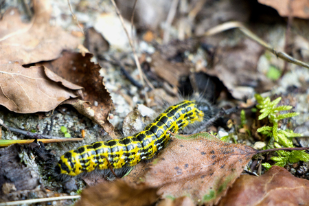 Yellow and black larva with hair in forest floor with brown leaves in autumn.