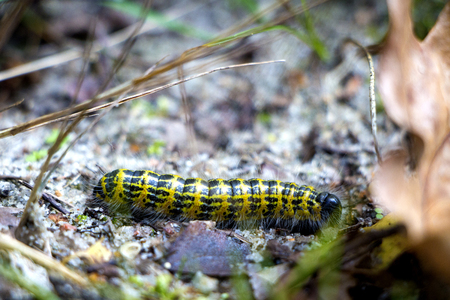 Yellow and black pieris brassicae caterpillar with hairs in the bottom of the forest in autumn.