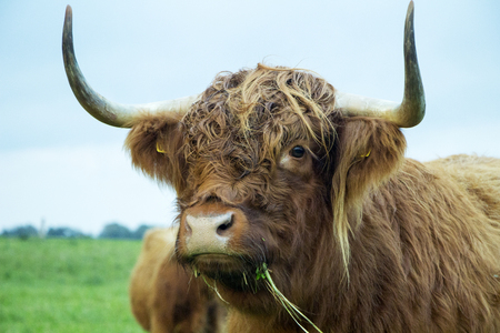 Brown highland cow eating grass on a cloudy day. Imagens