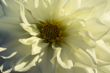 Symmetrical white and yellow flower in autumn.