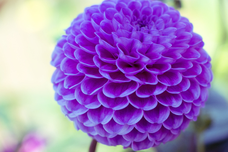 Violet flower with green background in autumn.