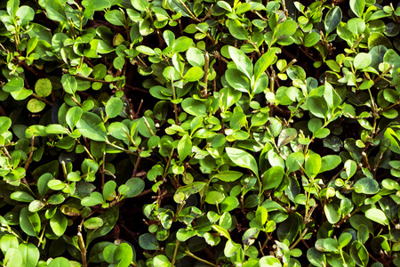 Green hedge leaves and branches in sunlight.