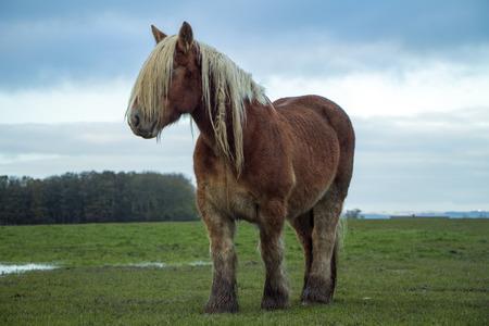 Jutland horse standing on green field, Equus ferus caballus
