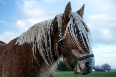Jutland horse closeup on a cloudy day. Equus ferus caballus. Фото со стока