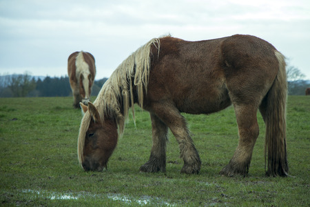 Jutland horses eating green grass on field on a cloudy day, Equus ferus caballus