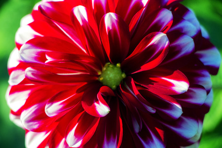 Red flower blossom isolated on green background. Shallow depth.