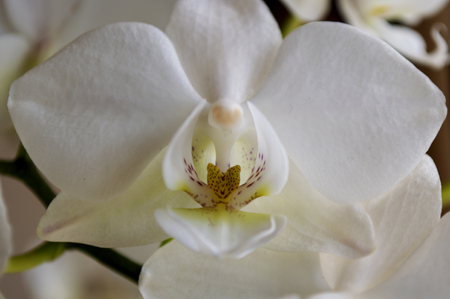 Beautiful white orchid, white phalaenopsis closeup in spring.