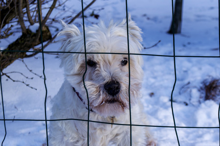 Cute white dog in snow behind net in white winter.