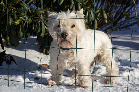 Cute white dog standing on snow behind net on a sunny day.